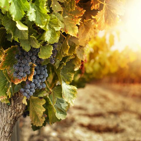 vendanges-etiuetage-viticole-CDA